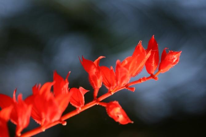 Flora vermelho