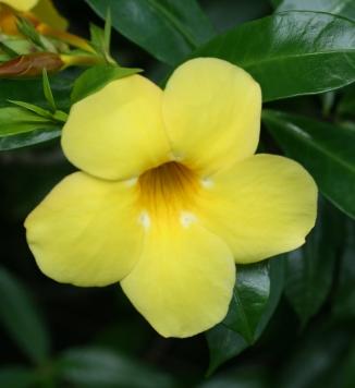 Amarelo bonita